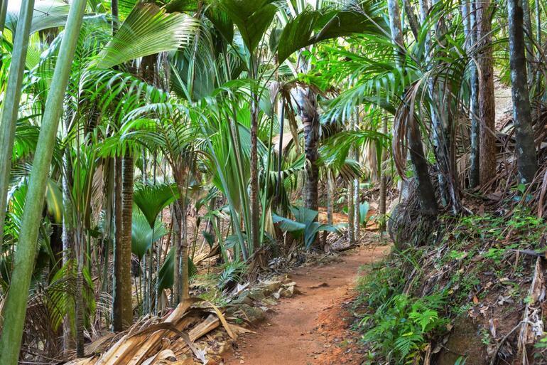 Meyve vermesi 50 yıl sürüyor... Dünyanın en büyük tohumu coco de merden 8000 bin tane kaldı