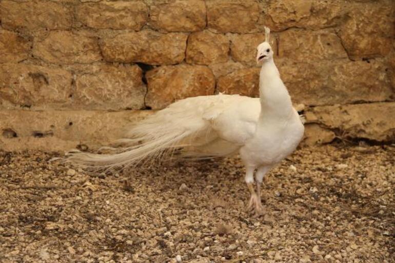 Hobi için başladı Şimdi tavus kuşlarının tanesini 5 bin liraya satıyor