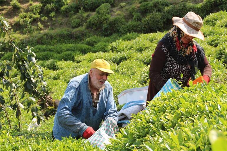 Rizede iş başa düştü  İşçi olmayınca üreticiler ailece hasada başladı
