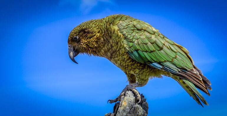 Kea papağanları: Yeter artık diyerek gitmişler