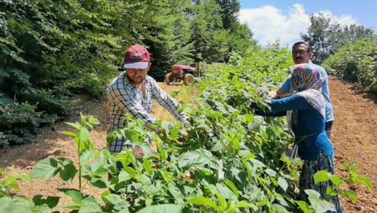 Bursa'da 1200 rakımlı dağların zirvesinde ahududu hasadı