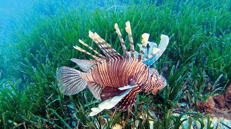 Kızıldeniz'den Akdeniz'e gelen istilacı balık türü 65'e çıktı