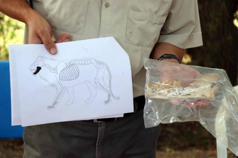 Kayseride heyecanlandıran keşif 4 bin yıl öncesine ait aslan kemiği bulundu