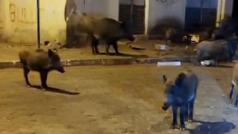 Şehir merkezine inen domuzlara Birader ne var ne yok diye seslendi
