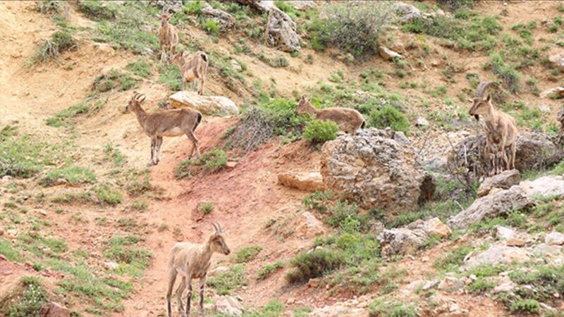 Dağ keçileri yola indi, görenler cep telefonuna sarıldı