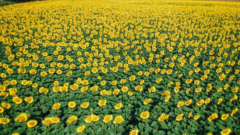 """Trakya'da """"Günebakan"""" tarlaları büyülüyor"""