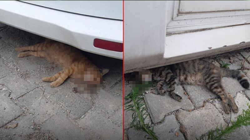 Kedilerin zehirlenerek telef edildiği iddiası