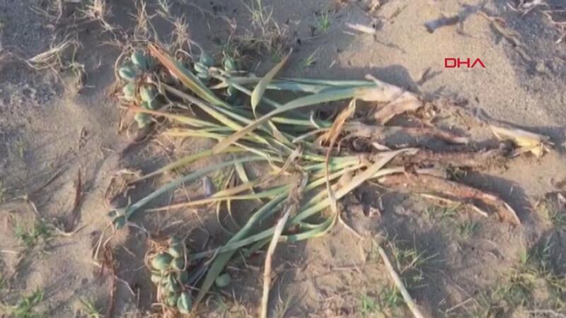 Koruma altındaki kum zambaklarını söktüler