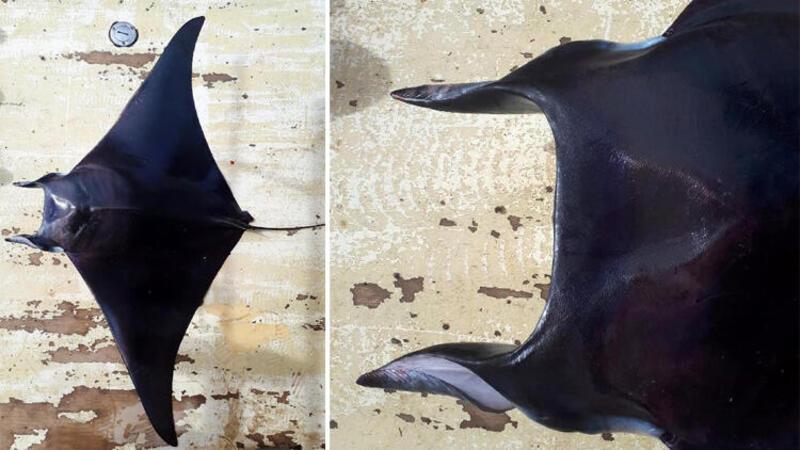 Antalya Körfezi'nde 'şeytan vatozu' ilk kez görüldü
