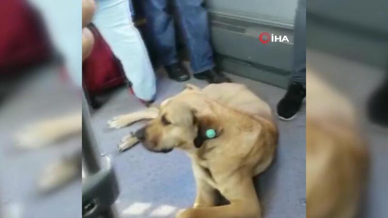 Sevimli köpeğin metrobüs yolculuğu
