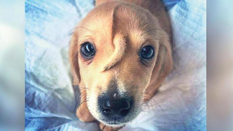 ABD'de bir köpek alnında kuyrukla doğdu