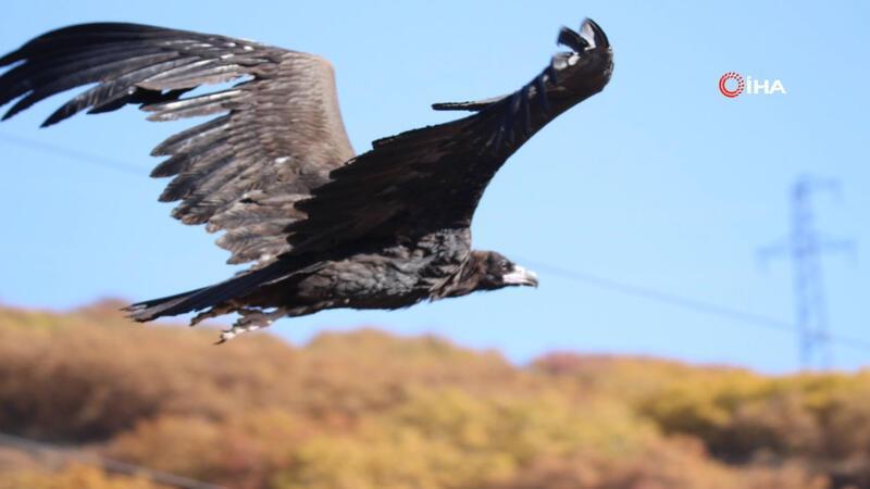 Nesli tehlike altında olan Kara Akbaba Tunceli'de görüntülendi