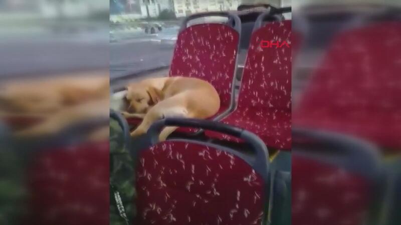 Şoförün otobüse aldığı köpek uyuyakaldı