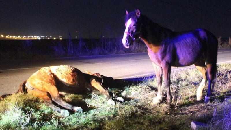 Telef olan arkadaşının yanından ayrılmayan at duygulandırdı