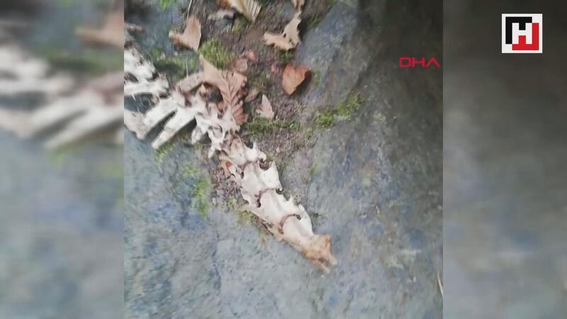 Trabzon'da 1,5 metre uzunluğunda, 2 ayaklı hayvan iskeleti bulundu