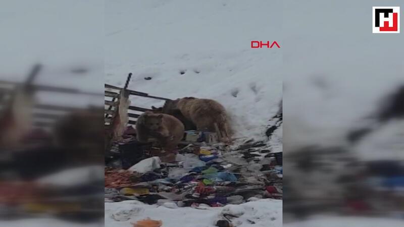 Hakkari'de ayı ve yavruları çöplükte yiyecek ararken görüntülendi