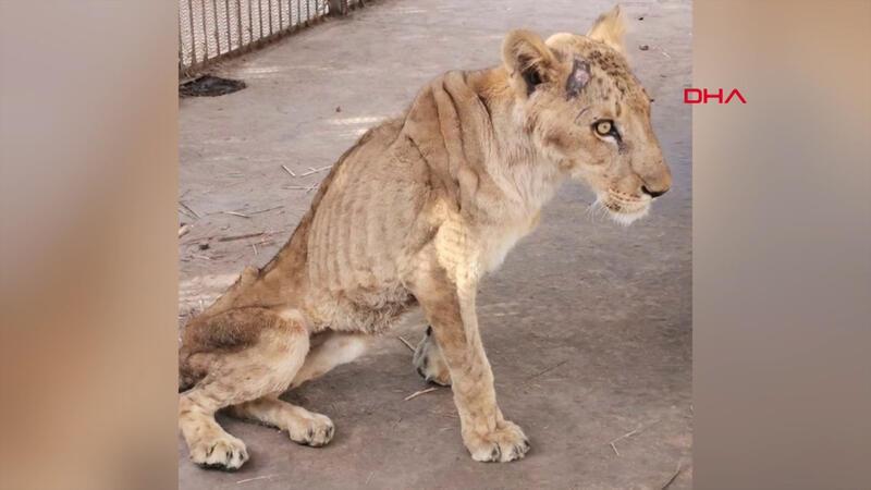 Sudan'daki aslanların durumu tepki topladı