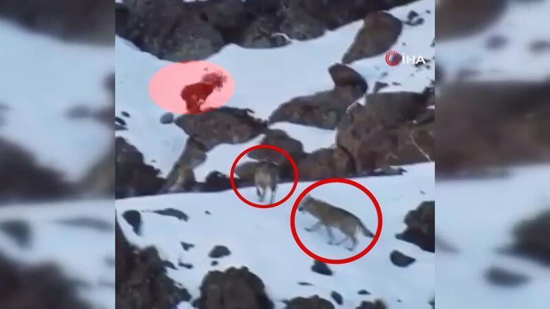 Kurtların arasında kalan yaban keçisinin ölümle dansı