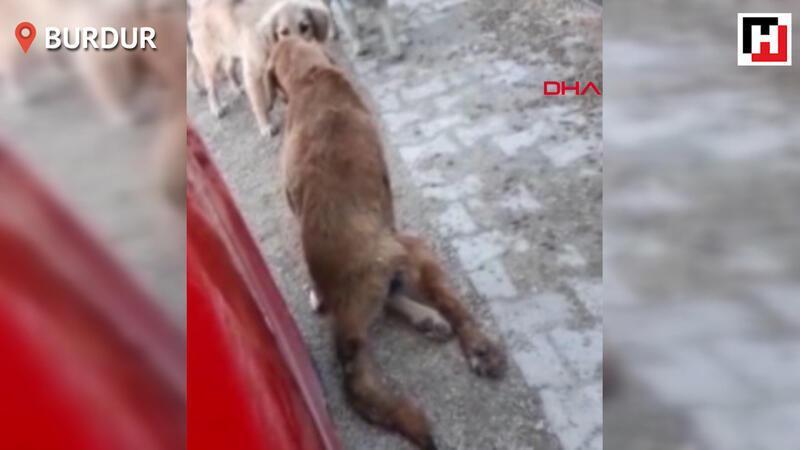 Çöpte bulunan felçli köpek sahiplendirildi