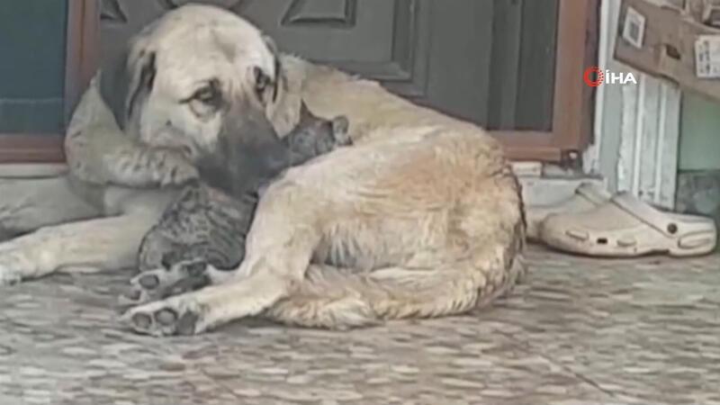 Annesi telef olan yavru kediye köpek şefkati