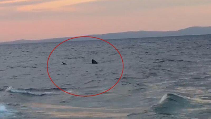 Saros Körfezi'nde '7 metrelik' köpek balığı heyecanı
