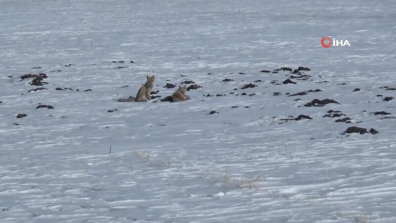 Kars'ta tilkilerin yiyecek arayışı kamerada