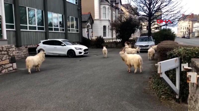 İngiltere'de boş kalan sokakları yabani keçiler bastı