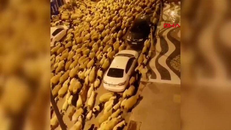 Şehir merkezini koyun sürüsü bastı