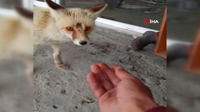 Görüntülerin adresi Ardahan... Dost olduğu tilkiyi her gün eliyle besliyor