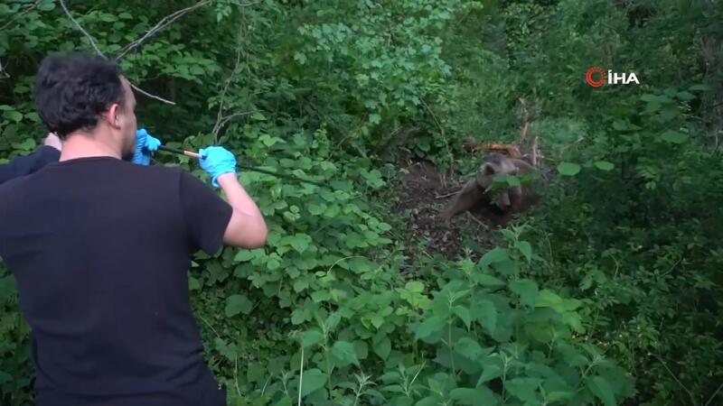 Uludağ'da kapana yakalanan ayı böyle kurtarıldı