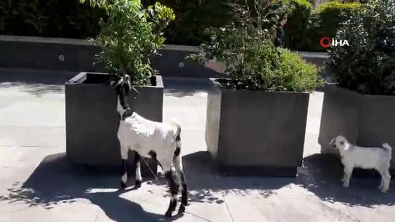 Görüntüler Gayrettepe'den... Plazaların arasında keçi ve kuzusunu otlattı