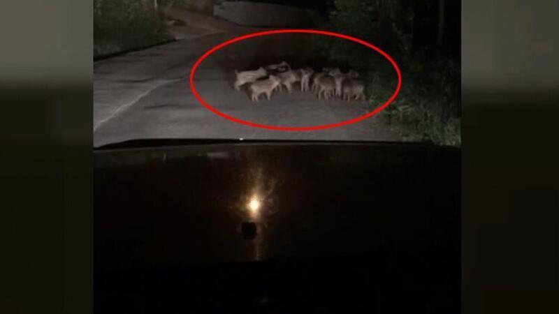 Zonguldak'da yavru domuzlar mahalleye indi