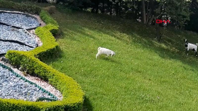 Sokağa çıkma yasağında İstanbul'un göbeğinde keçi otlattı