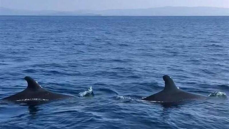 Yalancı katil balinalar Kuzey Ege'de ilk defa görüntülendi