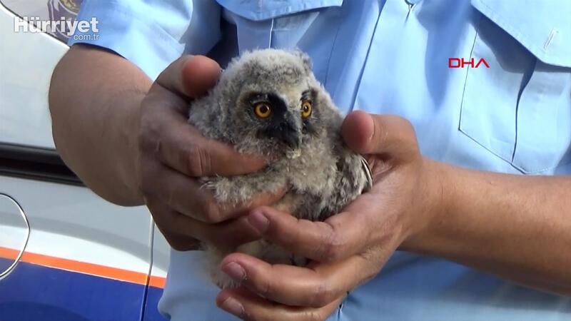 Kulaklı orman baykuşu koruma altına alındı