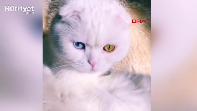 Farklı göz rengine sahip kedi sosyal medyada fenomen oldu