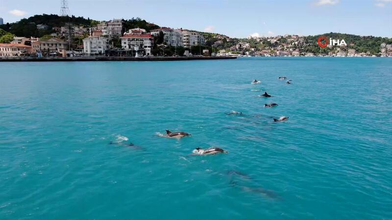 Yunuslar, turkuaza bürünen İstanbul Boğazı'nı süsledi