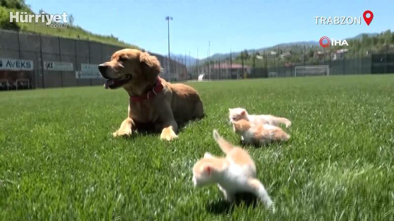 'Mia' isimli köpek, öksüz kedi yavrularına anneleri gibi davranıyor