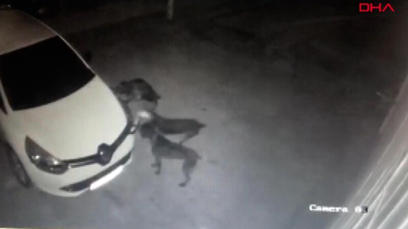 Kedi kovalayan köpekler otomobilin tamponunu böyle parçaladı