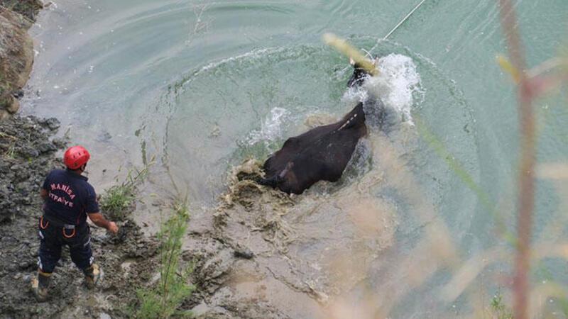 Gölete düşen hamile inek saatler sonra kurtarıldı