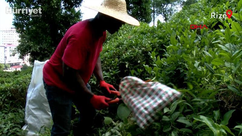 Rize'de çay toplayan Senegalli işçiler yöre halkının sevgisini kazandı