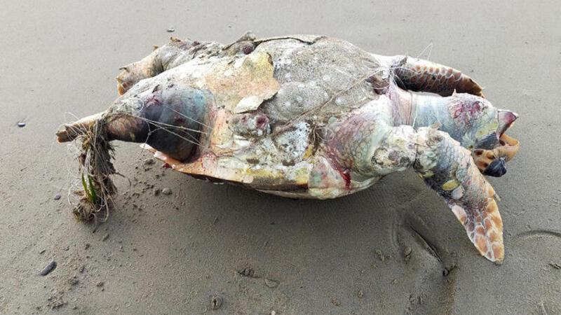 Hayalet ağlar deniz kaplumbağalarını öldürüyor