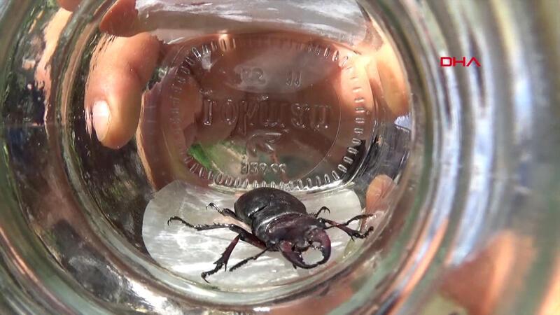 Tokat'ta 'geyik böceği' bulundu