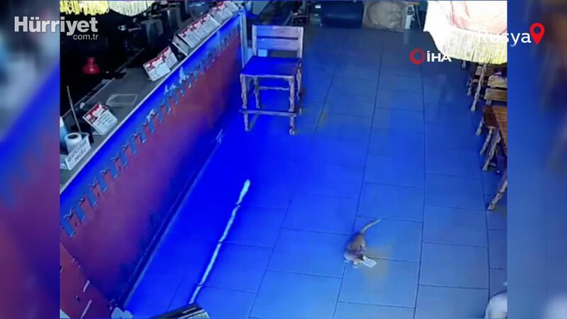 Rusya'da kasadan para çalan kedi suçüstü yakalandı
