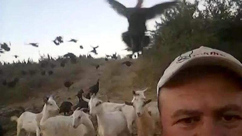 Tekirdağ'da sahibinin komutuyla uçan hindiler sosyal medyada ilgi odağı oldu