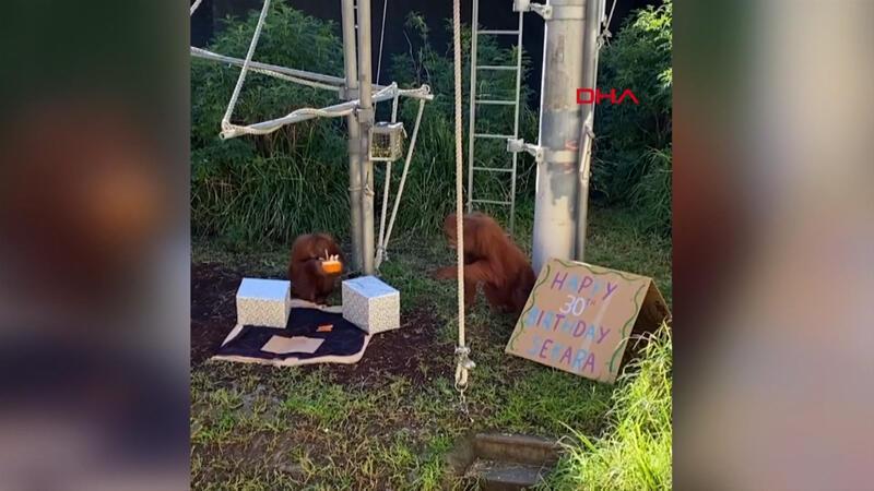 Orangutan, 30'uncu yaşını böyle kutladı