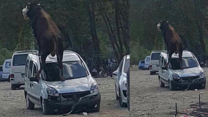 Samsun'da kurbanlık boğa, park halindeki aracın üstüne çıktı