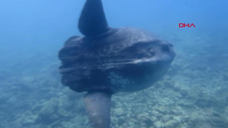 Saros Körfezi'nde dev ay balığı görüntülendi