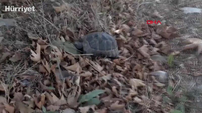 Yolda ters duran kaplumbağayı zabıta kurtardı