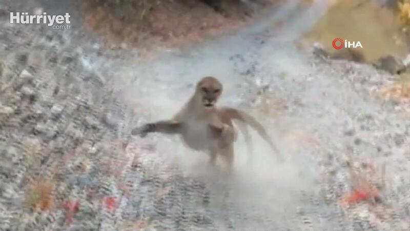 Korku dolu anları saniye saniye kaydetti! Peşine puma takıldı